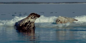 Seal havert3